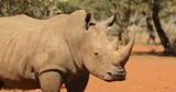 Close-up view of a white rhinoceros (Ceratotherium simum), South Africa - 190746415