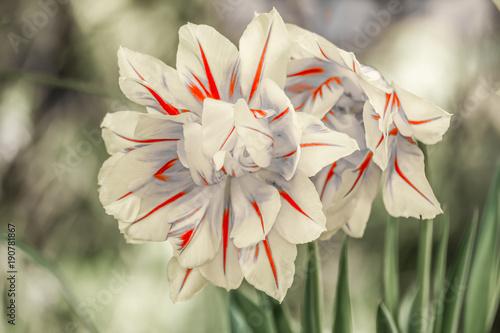 biale-tulipany,-kwiaty,-biale-tlo