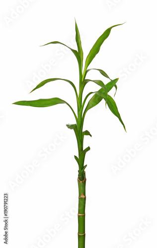 Fototapeta Tige de lucky bambou
