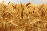 Champ de blé - 190795690
