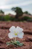 White Flower Grows in Desert - 190796269