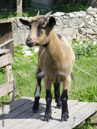 Foto Murales chèvre naine