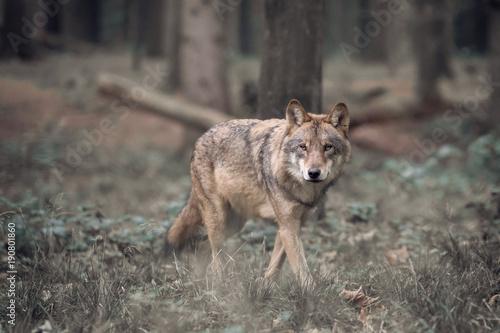 Aluminium Wolf Walking Wolf