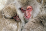 Snow Monkey family near Nagano, Japan - 190804648
