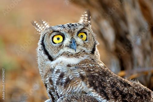 Portrait of a spotted eagle-owl (Bubo africanus), Kalahari desert, South Africa.