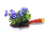 Plant pansies / viola wittrockiana - 190811218