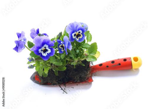 Roślinne bratki / viola wittrockiana