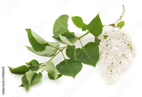 White flower of lilac.