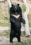 asiatic black bear - 190827406