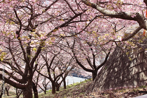 Foto op Aluminium Lichtroze 河津桜