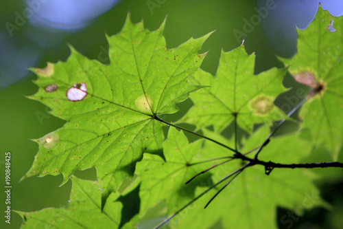 Foto op Canvas Pistache Branch of Norway maple tree with spotted leaves afflicted by a disease in a forest in summer season