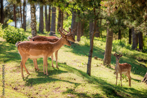Fototapeta Wonderful deers in forest in sunny summer, Europe