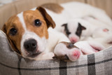 dog feeds the puppie...