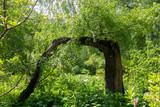 An unusual tree, a birch in the Botanical garden. Moscow , Botanical garden , summer , day. - 190862607