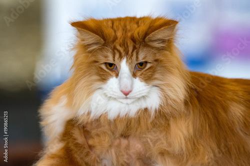 Norvegian forest cat portrait