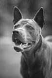 thai ridgeback dog outdoors - 190865685