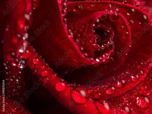 Fototapeta Close-up image of droplets on beautiful blooming red rose flower, Selective focus and shallow DOF, Valentine day concept