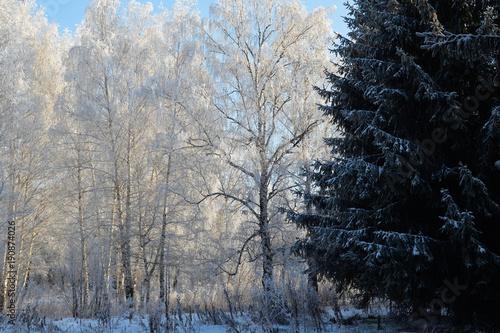 Fotobehang Berkenbos Winter. Park (birch und fir-tree)