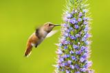 Hummingbird - 190887492