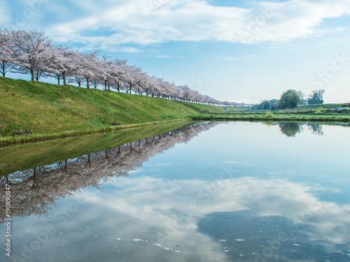 Aluminium Pool 桜並木
