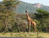 Male Masaii Giraffe - 190896265