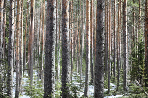 Fotobehang Lente Pine forest in the beginning of spring under the snow. Forest un