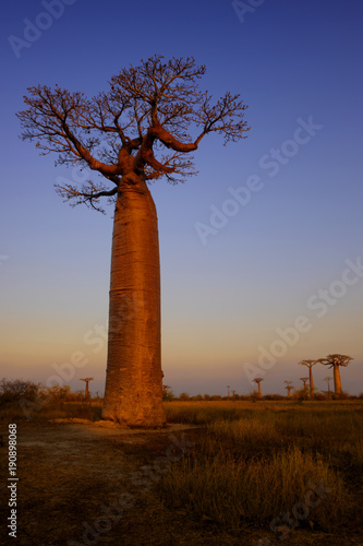 Aluminium Baobab Baobab - Adansonia grandidieri, Madagascar west coast. Travel Madagascar. Holidays. Iconic tree.