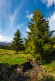 spruce trees on grassy hills along the brook. beautiful mountainous landscape in springtime under the gorgeous sky - 190903036