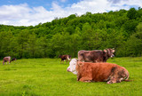 herd of cows on a pasture in mountains. fat rufous cow lay on the ground. lovely scenery in springtime - 190904261