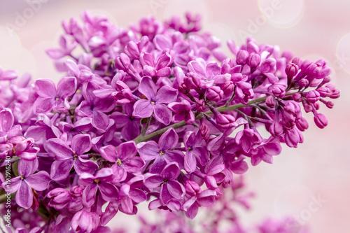 fioletowy-bez,-kwiaty,-rozowe-tlo