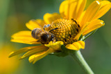 honey bee in sunflower collecting nectar - 190917222