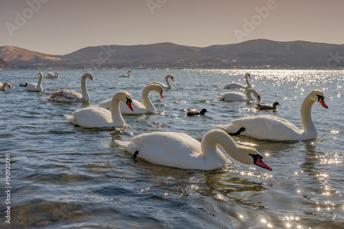 Fotobehang Zwaan There are many swans in the mountain lake at Mount Fuji mountain. Japan