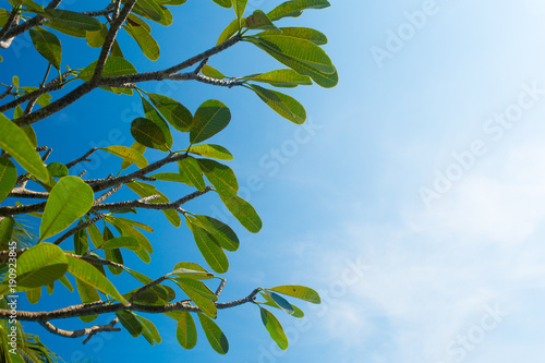 Fotobehang Plumeria Frangipani tree branches against clear blue sky