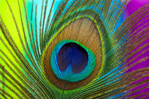 Fotobehang Pauw Peacock color feather