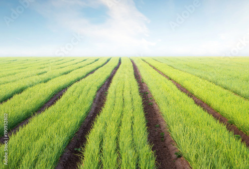 Rows on the field. Agricultural landscape in the summer time..