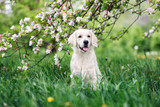 golden retriever dog posing outdoors in spring - 190933027
