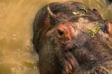 hippo close up - 190937688