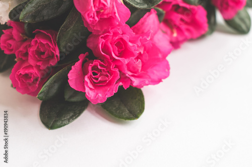 Fotobehang Azalea Close up of a blooming pink azalea on white background, happy valentines or mother's day concept