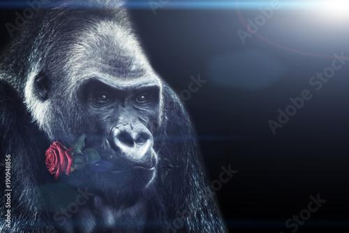 Fotobehang Aap Gorilla mit einer Rose im Mund