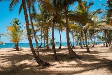 Coconut palms on the ocean shore.