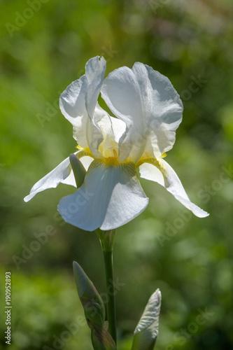 Aluminium Iris Schwertlilie
