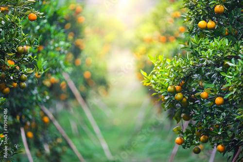 ripe oranges fruit hanging on tree in orange plantation garden
