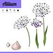 Primrose bulbous flower isolated on white background. Decorative plant allium