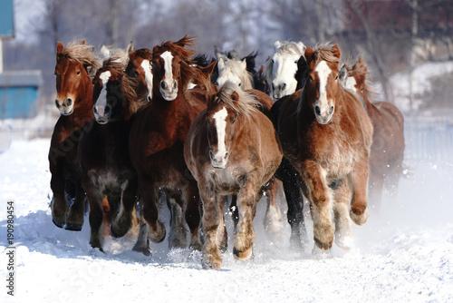 Zdjęcia na płótnie, fototapety na wymiar, obrazy na ścianę : 雪原を走る馬