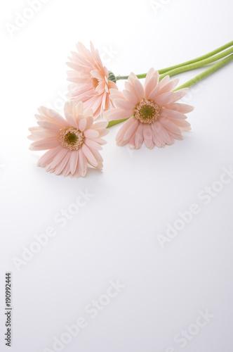 Plexiglas Gerbera ピンク色のガーベラ