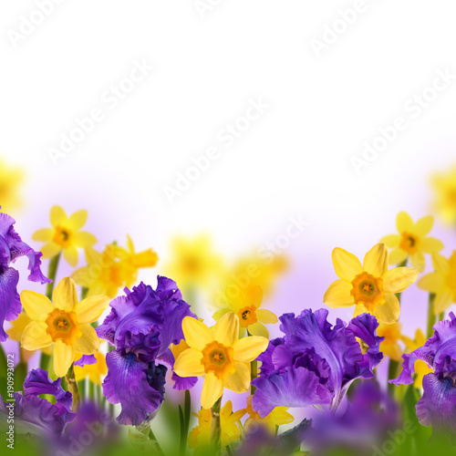 Aluminium Iris Violet irises, yellow tulips and willow with mimosa on a blurred background. Butterflies on flowers.