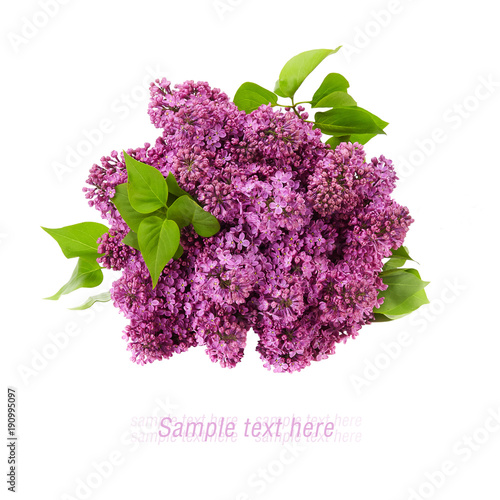 lilac flower on white background isolated