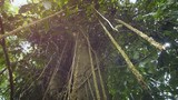 Aerial Roots Hanging from a Tropical Tree in the Jungle - 191004282
