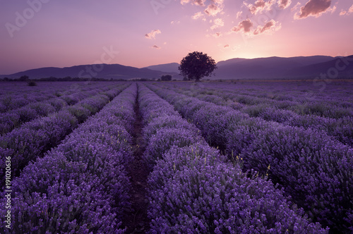 Canvas Aubergine Lavender fields. Beautiful image of lavender field. Summer sunset landscape, contrasting colors. Dark clouds, dramatic sunset.