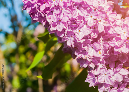 Blooming lilac flowers, spring floral background.
